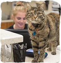 Animal Hospital in Fayetteville: Cat Standing On Reception Counter